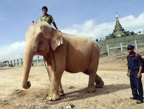 White_Elephant-Myanmar